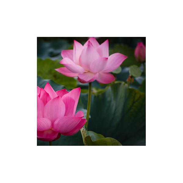 100g Lotus Powder