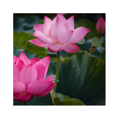Lotus Powder
